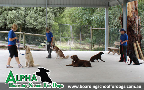 Alpha Boarding School For Dogs
